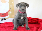Cane Corso Puppy For Sale in MOUNT JOY, PA,