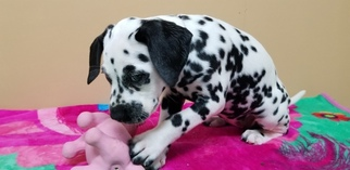 Dalmatian Puppy For Sale in TURKEY CREEK, LA, USA