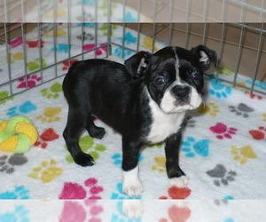 Boston Terrier Puppy for sale in ORO VALLEY, AZ, USA