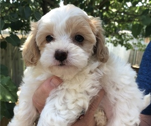 Yorkie-Poo Puppy for Sale in GEORGETOWN, Texas USA