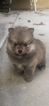 Pomeranian Puppy For Sale in BAKERSFIELD, California,