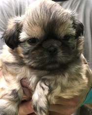 Shih Tzu Puppy For Sale in ANTRIM, NH, USA