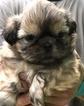 Shih Tzu Puppies Southern New Hampshire