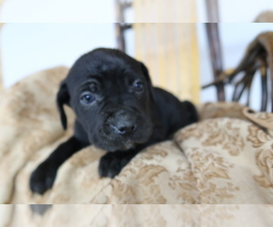 Cane Corso Puppy for sale in LANCASTER, NY, USA
