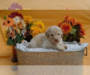 Poodle (Standard) Puppy for Sale in COVINGTON, Georgia USA