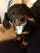 Chiweenie Puppy For Sale in SILOAM SPRINGS, AR, USA