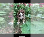 Puppy 4 Bernese Mountain Dog-Caucasian Shepherd Dog Mix