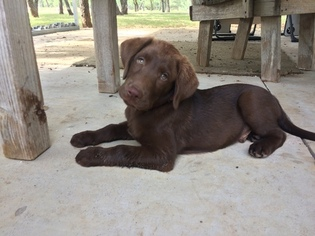 Labrador Retriever Puppy For Sale in JARRELL, TX, USA