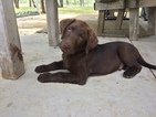 Labrador Retriever Puppy For Sale in JARRELL, TX,