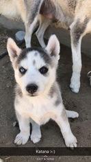 Alaskan Husky Puppy For Sale in BAKERSFIELD, CA, USA