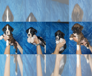 Boxer Puppy for sale in DILLSBORO, IN, USA