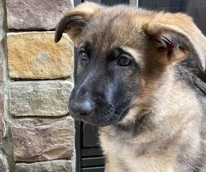 German Shepherd Dog Puppy for Sale in MOORESVILLE, North Carolina USA