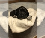 Puppy 3 American Bulldog-Golden Retriever Mix