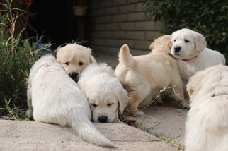 Golden Retriever Puppy For Sale in GLENDALE, AZ, USA