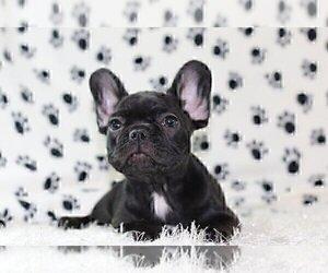 French Bulldog Puppy for sale in STUART, FL, USA