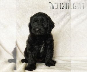 Goldendoodle (Miniature) Puppy for Sale in BRINKHAVEN, Ohio USA