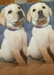 Labrador Retriever Puppy For Sale in SANFORD, CO