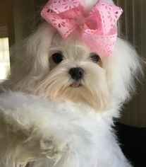 Maltese Puppy For Sale in SCHERERVILLE, IN, USA