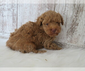 Poodle (Miniature) Puppy for sale in SHILOH, OH, USA