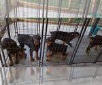 Small #75 Rottweiler