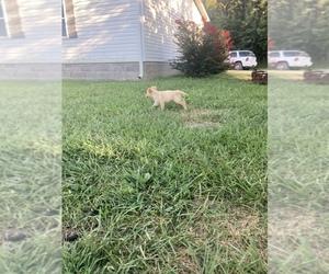 Golden Retriever Puppy for sale in FREDONIA, KS, USA