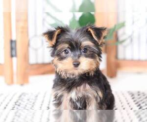 Yorkshire Terrier Puppy for Sale in NAPLES, Florida USA