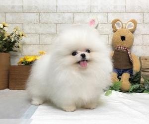 Pomeranian Dog for Adoption in LOS ANGELES, California USA