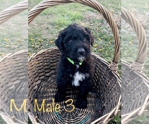 Aussiedoodle Puppy for sale in UPTON, KY, USA