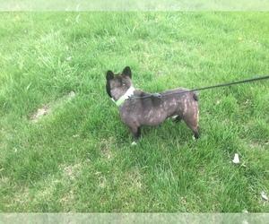 French Bulldog Puppy for sale in HIAWATHA, KS, USA