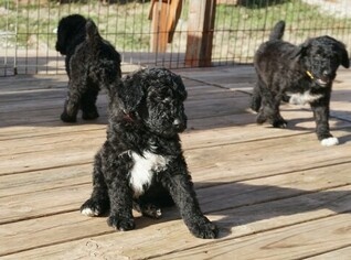 Airedoodle Puppy For Sale in FORT WORTH, TX, USA