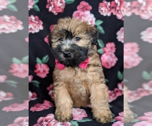 Soft Coated Wheaten Terrier Puppy for sale in PARADISE, PA, USA