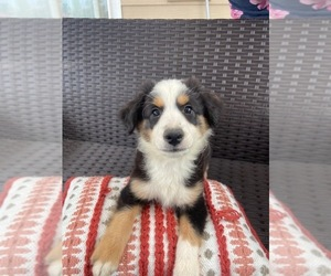 Miniature Australian Shepherd Puppy for Sale in BLACK FOREST, Colorado USA
