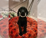 Puppy 3 Doberman Pinscher-Weimaraner Mix