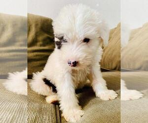 Old English Sheepdog Puppy for Sale in TULARE, California USA