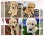 CKC Standard Labradoodle Puppies For Sale