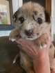 Norwegian Elkhound-Siberian Husky Mix Puppy For Sale in BRAYMER, MO, USA