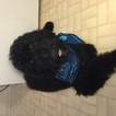 Poodle (Standard) Puppy For Sale in MEMPHIS, TN, USA