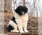 Puppy 1 Poodle (Miniature)-Shepadoodle Mix