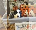 Small Photo #4 Bernedoodle-Goldendoodle Mix Puppy For Sale in LAKE CITY, FL, USA