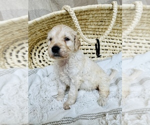 Goldendoodle Puppy for Sale in SWEETWATER, Tennessee USA