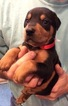 Doberman Pinscher Puppy For Sale in BAKERHILL, AL, USA