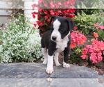 Small #1 Boston Terrier Mix