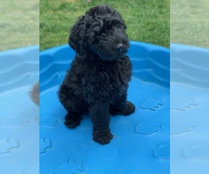 Bouvier Des Flandres Puppy for Sale in LUTHERVILLE, Maryland USA