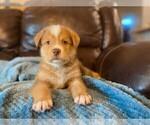 Puppy 8 Sheprador