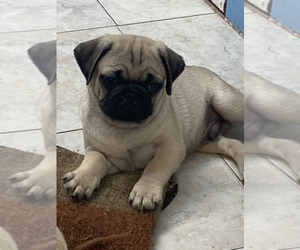 Pug Puppy for Sale in DOTHAN, Alabama USA
