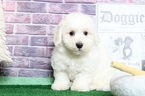 Bichon Frise Puppy For Sale in BEL AIR, Maryland,