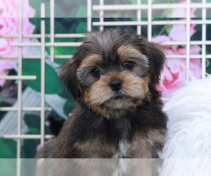 Shorkie Tzu Puppy for sale in MARIETTA, GA, USA