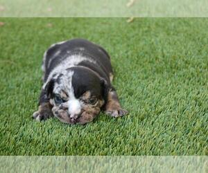 English Bulldog Dog for Adoption in ATHERTON, California USA