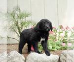 Puppy 0 Australian Retriever