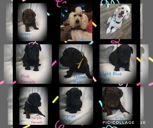 Poodle (Standard) Puppy for sale in CARLSBAD, NM, USA